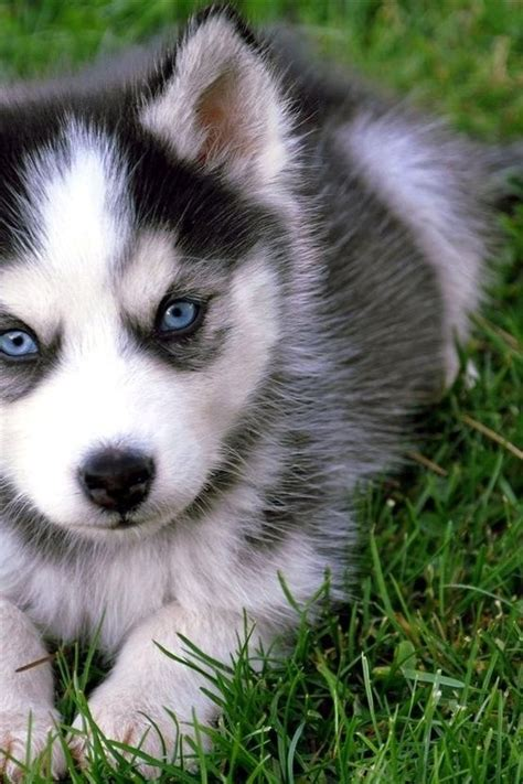 pictures of pomsky puppies pomeranian husky the pomsky cutest designer gracie lu shih tzu