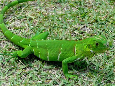 imagenes iguanas verdes imagenes de iguanas verdes imagui