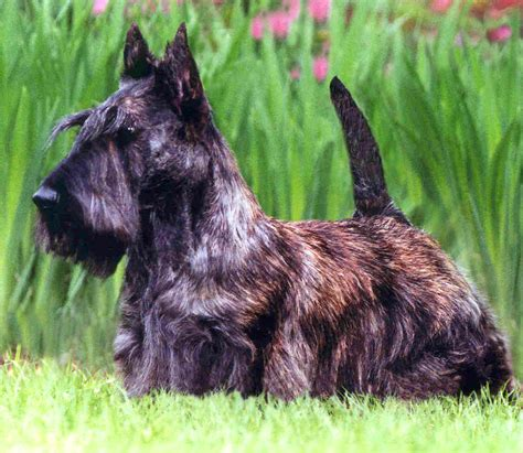 scottish dogs brown scottish terrier photo and wallpaper beautiful brown scottish terrier