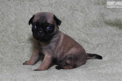 pugs arkansas pug puppy for sale near rock arkansas fdeb43cb 80c1