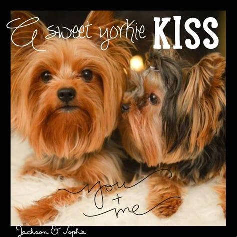 yorkie skin problems treatment 902 best images about yorkies on terrier yorkie and doggies