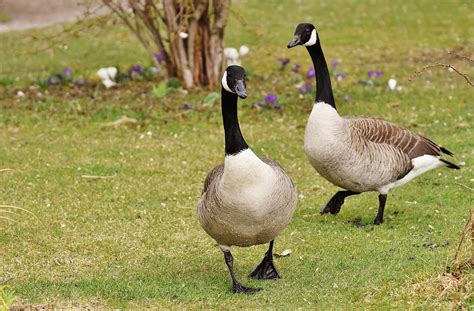 images of geese geese poultry pair 183 free photo on pixabay
