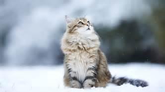 free wallpaper winter cats wallpapersafari