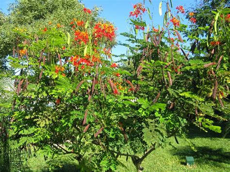 Garden Poinciana by Garden Muses Not Another Toronto Gardening