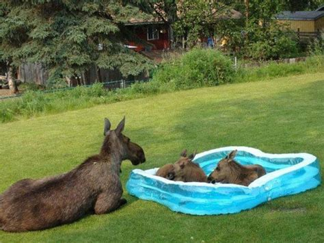 Animal Kiddie Pool Merah apparently they like paddling pools sorry don t a moose board imgur dogs