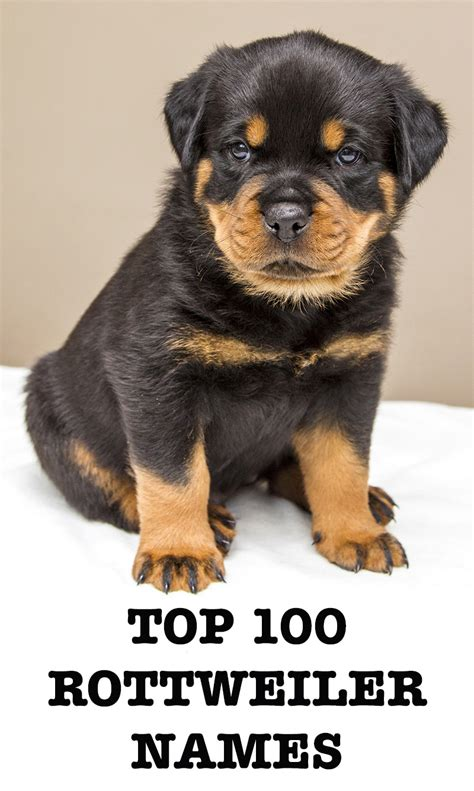 best rottweiler names tough autos post