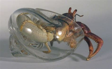 clear glass crab shells so you can see their asses geekologie