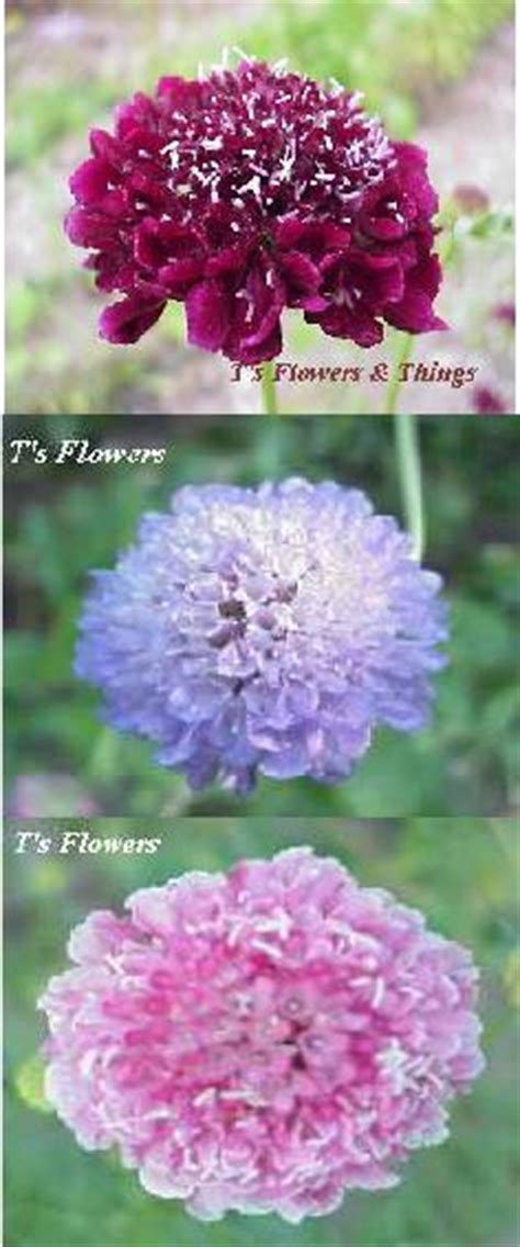 Bibit Benih Seeds Pinchushion Flower Mix Scabiosa Atropurpurea pincushion flower seeds mixed 1 00 pack scabiosa atropurpurea