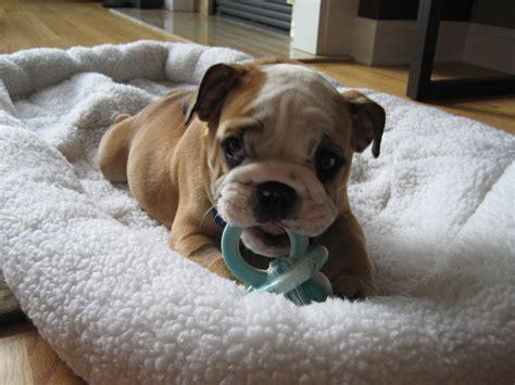 baby bulldog puppies baby bulldog puppies car interior design