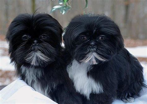 shih tzu rescue milwaukee maltese rescue available dogs