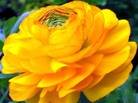imagenes de rosas anaranjadas fotos de rosas hermosas related keywords fotos de rosas
