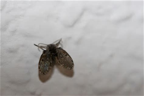 tiny moths in my bathroom urban ipm those aren t tiny moths you have drain flies