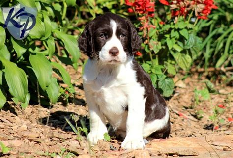 springer spaniel puppies for sale in pa 17 best images about springer spaniel on duke and spaniels