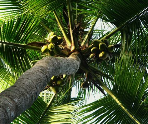 How to Plant a Coconut Palm Tree   Master Garden