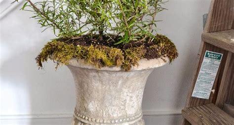 rosmarino vaso rosmarino in vaso aromatiche rosmarino coltivato in vaso