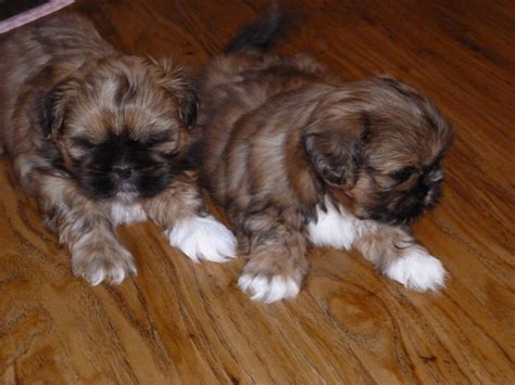 solid shih tzu puppies two solid gold shih tzu boys rochester kent pets4homes