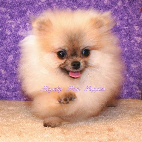 pomeranian puppies louisiana puppies placed royalty yorkie or pomeranian puppies louisiana usa