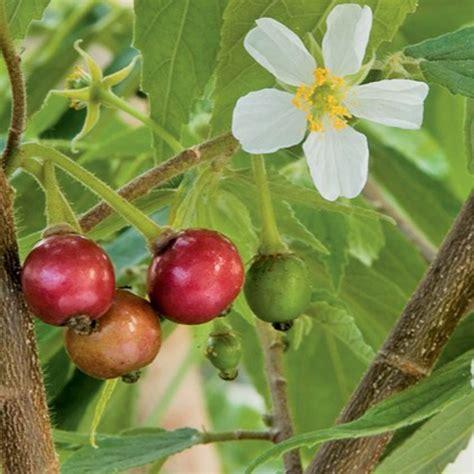 Bibit Kesemek Untuk Obat jual bibit buah karsen kersen obat untuk diabetes hipertensi dsb ol zaini shop kebumen