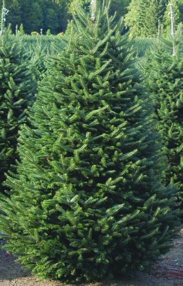 pike nursery christmas trees 17 best images about inspiration on gardens trees and fraser fir
