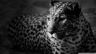 Pictures Of White Jaguars Black And White Jaguar Wallpaper 1920x1080