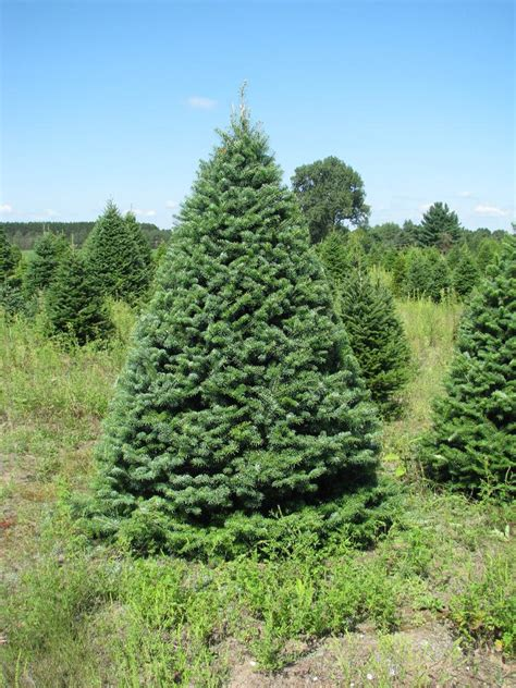 canaan balsam fir wholesale christmas trees