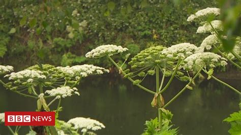 most difficult plants to grow giant hogweed uk s most dangerous plant say rivers