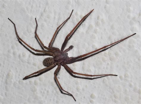 Dreams About Spiders Falling From The Ceiling by House Spider