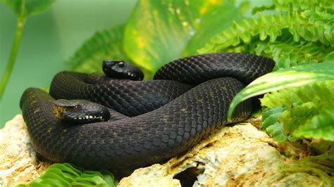 wallpaper black mamba snake snake wallpapers wallpaper cave