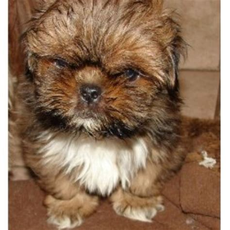 shih tzu puppies for sale in michigan shih tzu puppies for sale in west michigan
