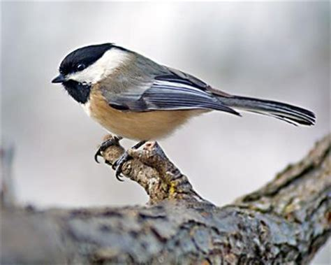 black capped chickadee colorado bird colorado birds
