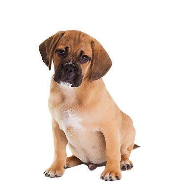 pug hypoallergenic pug mix breed information