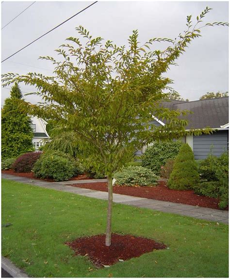 Trees For Backyard Landscaping by Backyards Splendid Trees For Backyard Best Trees