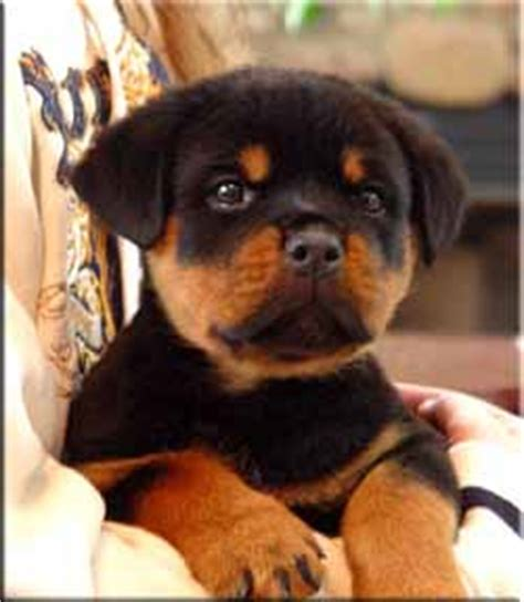 rottweiler puppies for sale st louis and lovely affectionate rottweiler puppies for adoption to h st louis
