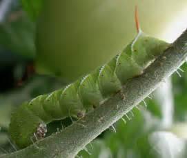 Garden Pests Ontario - july 171 2011 171 perpendicularity org blog