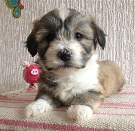havanese or coton de tulear beautiful havanese coton de tulear edinburgh midlothian pets4homes