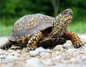 how long should a tortoise heat l be on care of box turtles lovetoknow