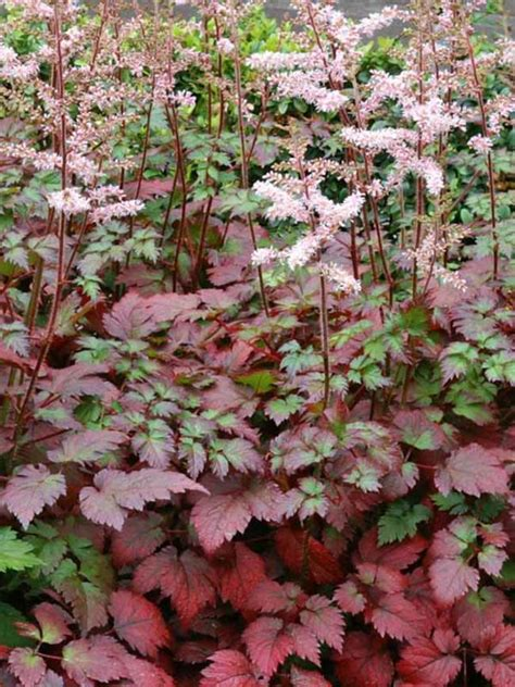 color flash astilbe color flash bluestone perennials