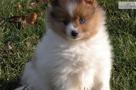 blue eyed pomeranian puppies for sale blue eyed munchkin images frompo