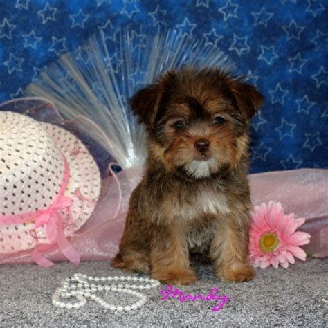 yorkie puppies for sale in ky 23 best images about shorkies on yorkie puppys and teddy bears