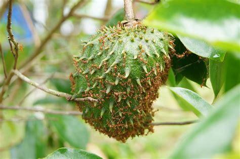 durian belanda dutch durian   fire ants