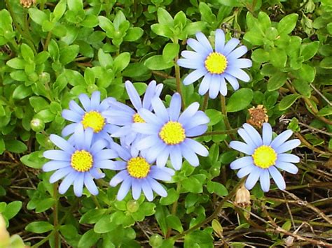 Daisy Plants My Blue Daisies Flora And Fauna Image 19229273 Fanpop