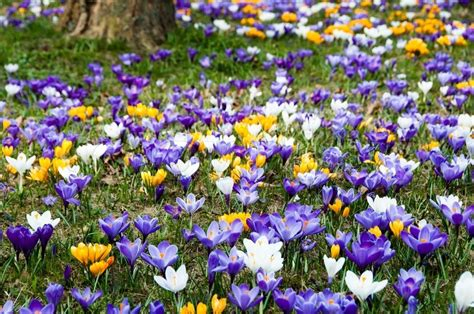 crocus flowers growing in the grass in spring stock