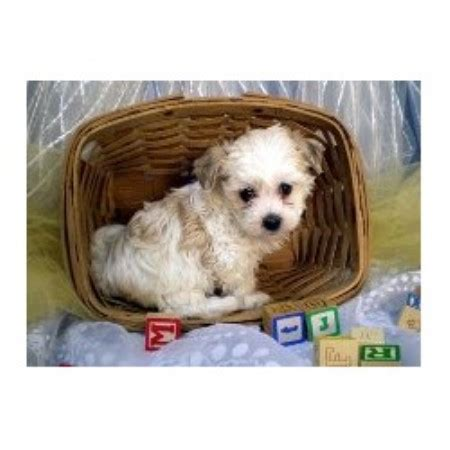 kansas havanese fisher s puppy havanese breeder in havensville kansas 66432 freedoglistings
