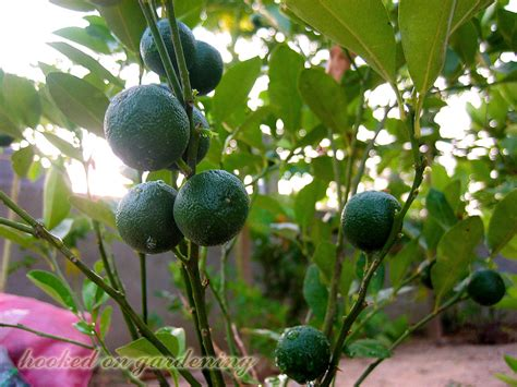 small fruit bearing trees hooked on gardening my s fruit bearing plants