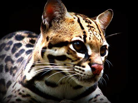 imagenes de animales no conocidos file jaguatirica ou gato do mato jpg wikimedia commons