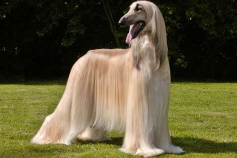 hound puppies for sale afghan hound puppies for sale bazar