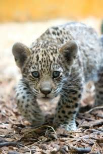 Baby Jaguar Baby Jaguar Stalking Animals