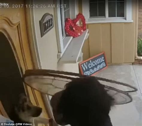 What Can Go Through The Green Glass Door German Shepherd Crashes Through Front Door S Glass Panel Daily Mail