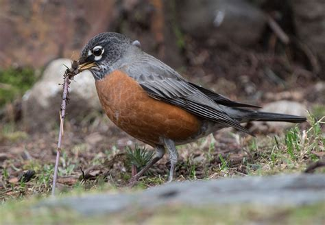 what do american robin bird eat berries and worms wings skagit