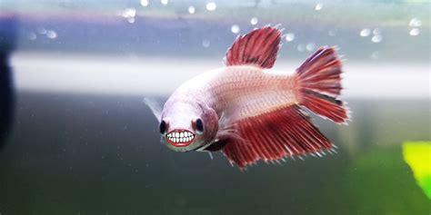 do betta fish have teeth bettafish org